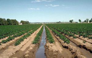 vitelotte solanum tuberosum vitelotte - irrigation