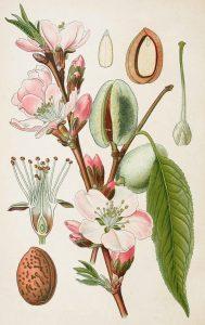 almond amygdalus communis - almond biology