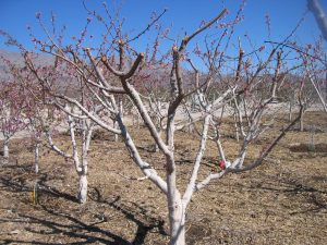 almond amygdalus communis - cuts for fruition