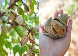 almond amygdalus communis - harvesting