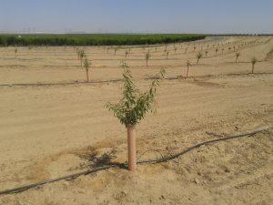 almond amygdalus communis - planting