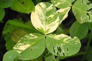 clover trifolium - Alfalfa mosaic virus