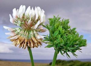 clover trifolium - micoplasma like organism