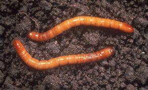 clover trifolium - wireworms
