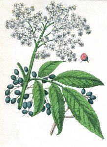 elder sambucus nigra - plant biology