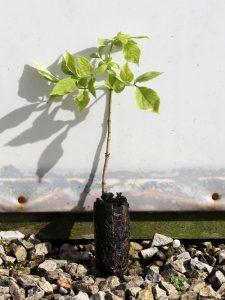 elder sambucus nigra - seedling