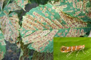 sweet chestnut castanea sativa - horse-chestnut leaf miner