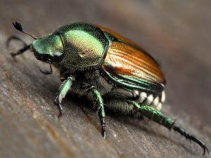 sweet chestnut castanea sativa - japanese beetle