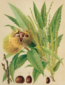 sweet chestnut castanea sativa - sweet chestnut biology