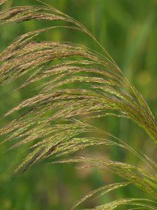 Apera spica-venti - flower