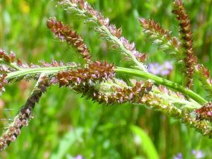 Echinochloa crus-galli - flower