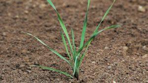 Alopecurus myosuroides - small plant