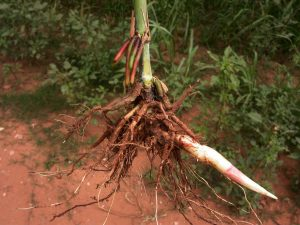 Sorghum halepense - roots