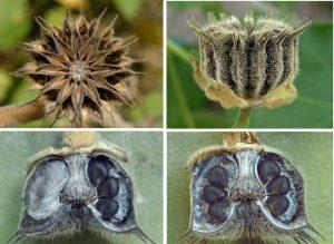 Abutilon theophrasti - fruit and seeds