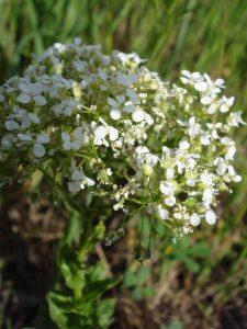 Cardaria draba - flower