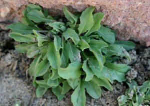 Cardaria draba - plant