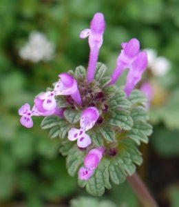 Lamium amplexicaule - flower