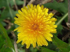 Sonchus arvensis - flower 1