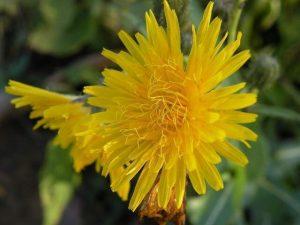 Sonchus arvensis - flower