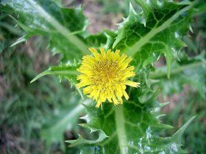 Sonchus asper - flower 1