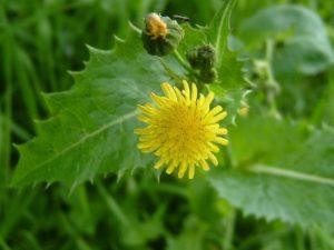 Sonchus asper - flower