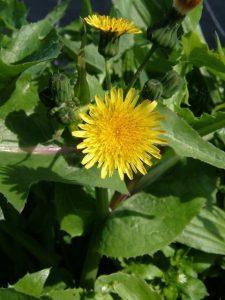 Sonchus oleraceus - flower 1