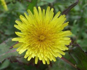 Sonchus oleraceus - flower