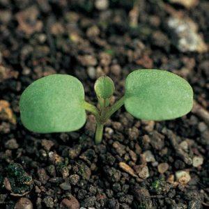Viola arvensis - cotyledon