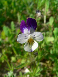Viola arvensis - flower 1