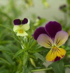 Viola arvensis - flower