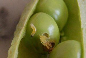 Bruchus pisorum - larva
