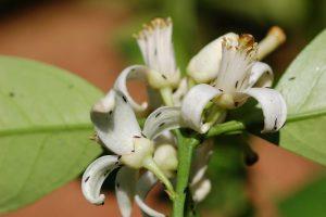 Heliothrips haemorrhoidalis - affected plant