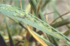 Schizaphis graminum - affected leaf