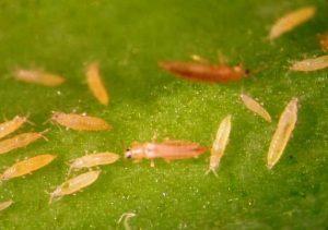 Stenothrips graminum - larva