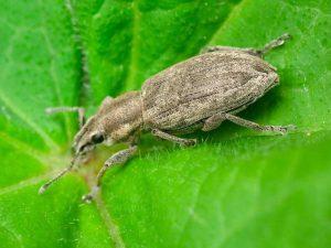 Tanymecus Dilaticollis - adult