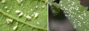 Trialeurodes vaporariorum - whitefly