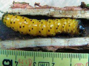 Zeuzera pyrina - larva 1