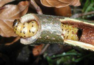 Zeuzera pyrina - larva 2