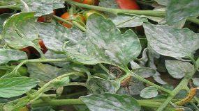 Leveillula taurica - tomatoes