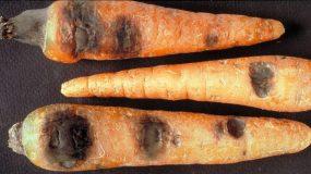 Rhizoctonia violacea