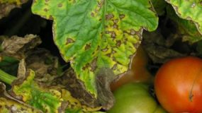 Septoria lycopersici