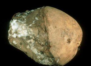 Fusarium solani var. coeruleum - affected tubercle 1