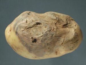 Fusarium solani var. coeruleum - affected tubercle