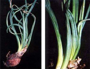 Onion yellow dwarf virus