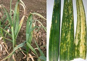 Onion yellow dwarf virus - affected plants
