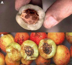 Plum pox virus - affected fruits