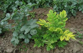Potato virus X - affected plants