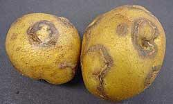 Potato virus Y - affected tubers