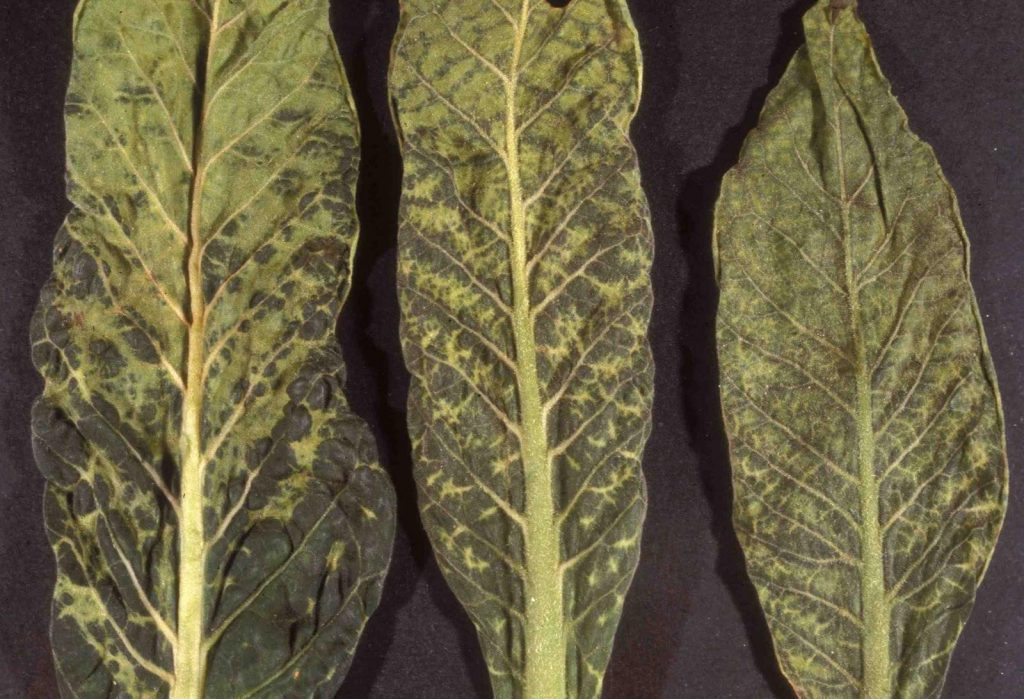 Tobacco mosaic virus - affected plants