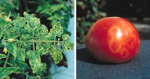 Tobacco mosaic virus - tomato